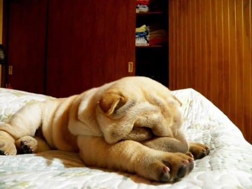 perro durmiendo cama
